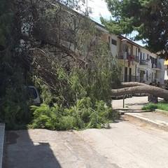 Cade pino in Via Consolare