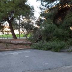 caduta alberi Cerignola