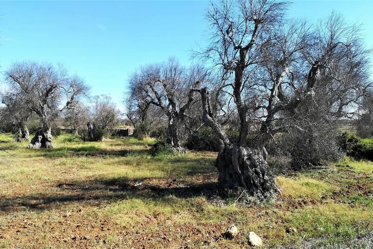Alberi di olivo attaccati da xylella nell'agro di Gallipoli. <span>Foto G.steph.rocket</span>