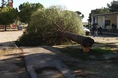 Borgo Tressanti, cade albero a pochi passi dalla scuola