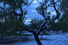 Nevicate primaverili fanno strage di mandorle in campagna