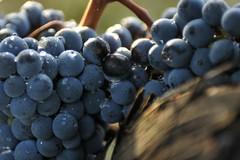 Vendemmia, primo taglio uve Negroamaro per bollicine pugliesi