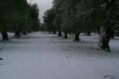 Puglia sferzata dal gelo: ghiaccio e neve danneggiano le colture
