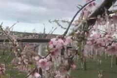 Maltempo: Coldiretti Puglia, gelo su peschi e mandorli in fiore, addio frutta