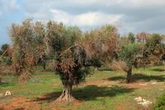 Xylella: Coldiretti Puglia, ammesso a finanziamento solo il 6% delle domande di espianto e reimpianto