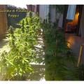 Torremaggiore: Produzione di marijuana in appartamento serra