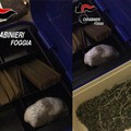 Cerignola: Spacciavano in casa hashish e marijuana. Due arresti.