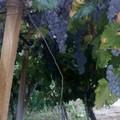 Criminalità: Coldiretti Puglia, assalto a tendoni di uva, preoccupazione per raccolta olive. Allertate le Prefetture