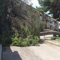 Cade un pino in Via Consolare a Cerignola