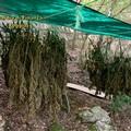 Rinvenute 60 piante di canapa indiana