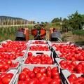 Pomodoro: con accordo tra Coldiretti e Princess riconosciuti prezzi +23%