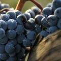 """Sgarro:  """"Convocazione immediata del tavolo per il monitoraggio sul prezzo dell'uva """""""