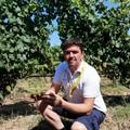 Al via la vendemmia 2019 in Puglia