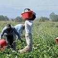 Carenza di manodopera in agricoltura, le precisazioni della Uila