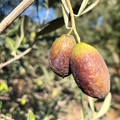 Olive avvizzite e campi a secco. È già calamità