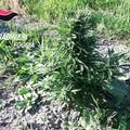 Scoperta piantagione di marijuana nelle campagne di Cerignola -FOTO-
