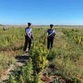 Sequestrate 5.000 piante di marijuana in un terreno di Cerignola