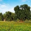 Focolaio xylella a Canosa di Puglia
