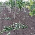 Agricoltura pugliese spazzata dal vento