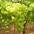 Campagna di sensibilizzazione su normativa trasporto uva, mosti e vini
