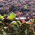 """Uva da vino, Cia Capitanata: """"Nessuna riduzione della produttività"""""""