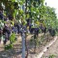 """Metta:  """"A settembre situazione pericolosa per la vitivinicoltura cerignolana """""""